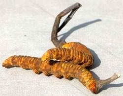 cordyceps_sinensis_clip_image001.jpg image by Limontselo